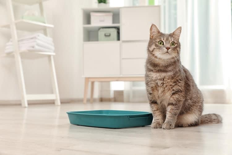 Die besten staubfreien Katzenstreu (2020 Bewertungen)