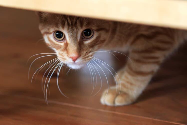 Die besten Cat Calming Sprays (2020 Bewertungen)